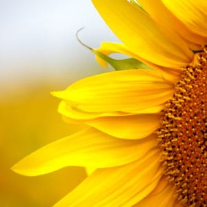 How to Build a Sunflower House