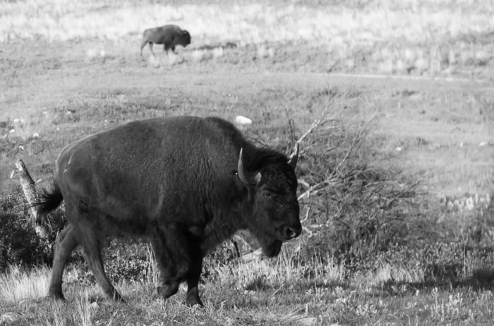 The Secrets of Custer State Park's Wildlife Loop *great tips