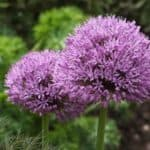 Fall Planting: 10 Beautiful Varieties of Allium That Will Thrive in the Midwest