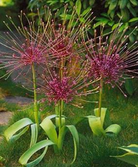 Allium schubertii - The Joy of Chaos Gardening