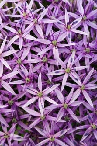 Allium 'Globemaster' - The Joy of Chaos Gardening