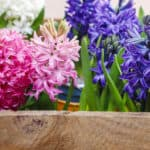 How to Force Bulbs With or Without Soil