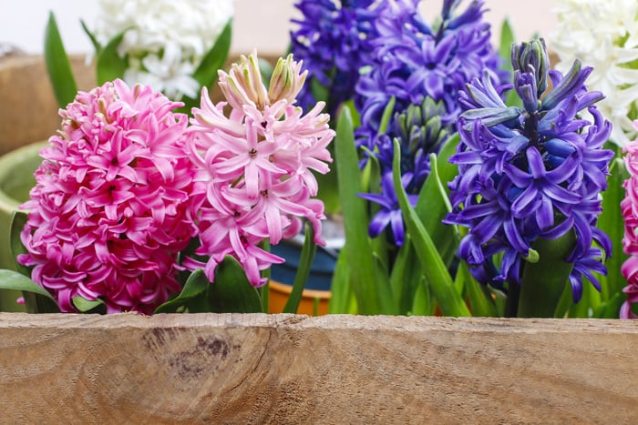 How to Force Bulbs With or Without Soil *So pretty. Saving this video tutorial for later.