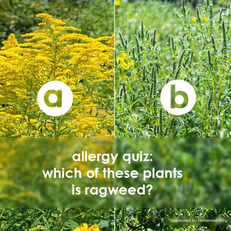allergy quiz: if your kids are suffering from seasonal allergies it might be from ragweed ... which plant is it?!?!